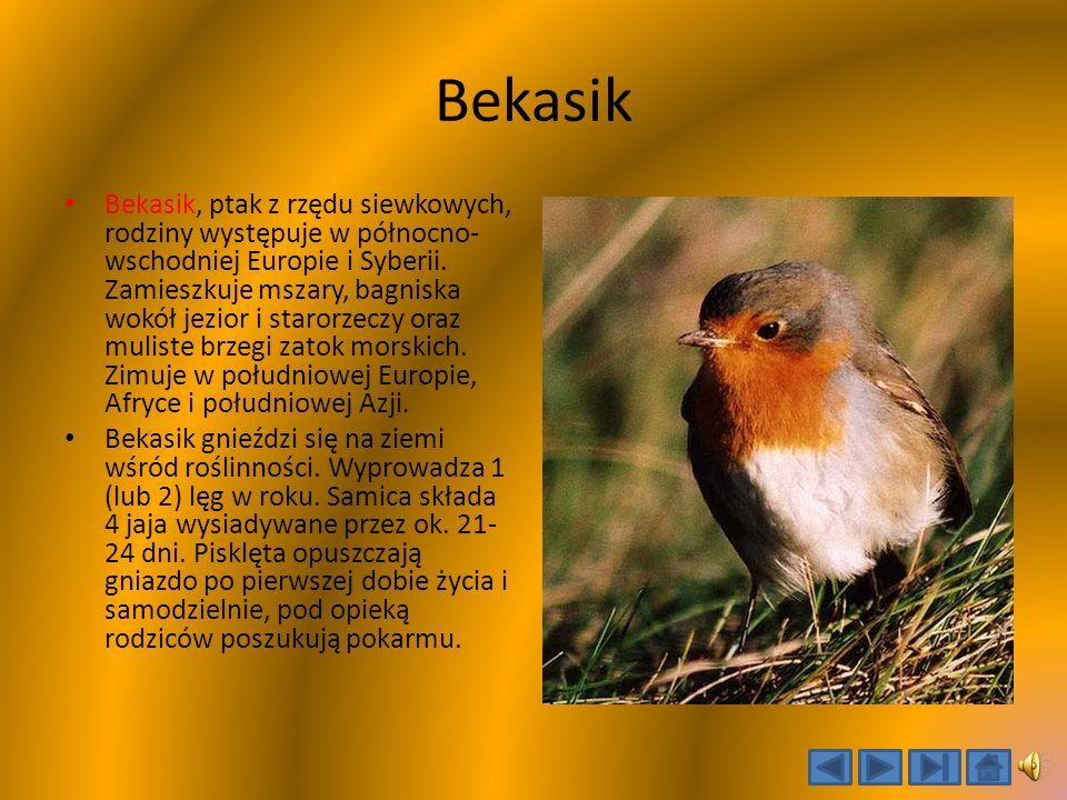 Bekasik Bekasik, ptak z rzędu siewkowych, rodziny występuje w północno- wschodniej Europie i Syberii.