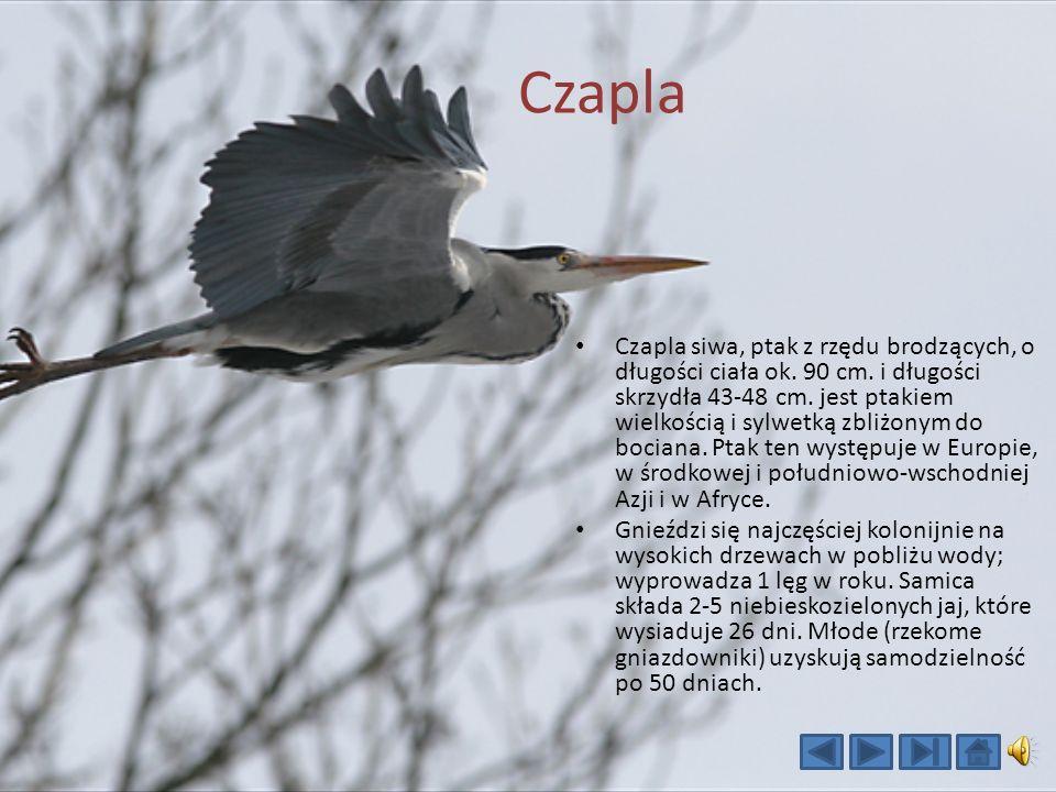 Czapla Czapla siwa, ptak z rzędu brodzących, o długości ciała ok.
