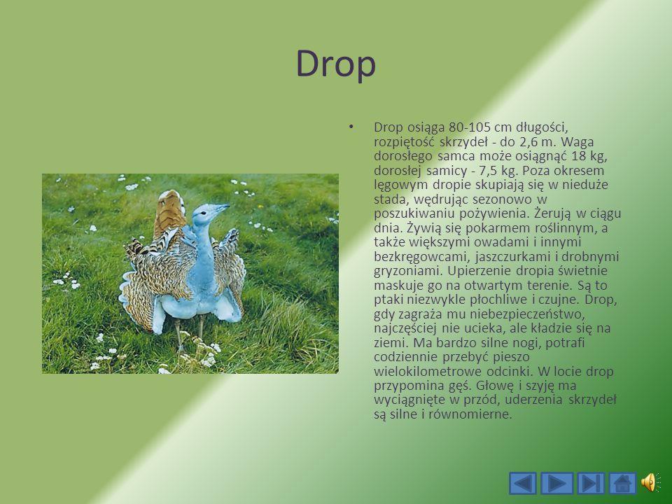 Drop Drop osiąga 80-105 cm długości, rozpiętość skrzydeł - do 2,6 m.