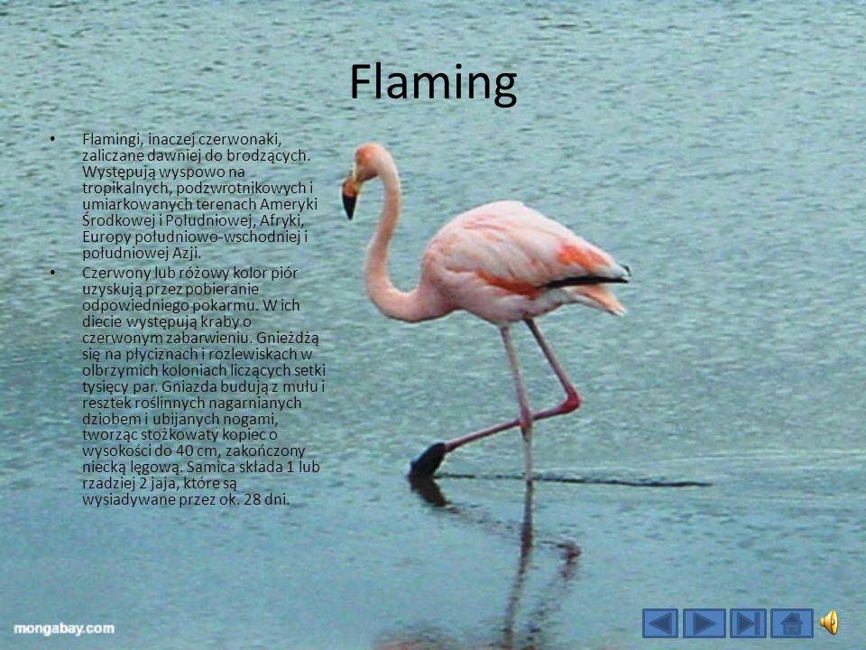 Flaming Flamingi, inaczej czerwonaki, zaliczane dawniej do brodzących.