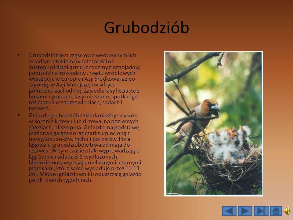 Grubodziób Grubodziób jest częściowo wędrownym lub osiadłym ptakiem (w zależności od dostępności pokarmu) z rodziny ziarnojadów, podrodziny łuszczaków, rzędu wróblowych występuje w Europie i Azji Środkowej aż po Japonię, w Azji Mniejszej i w Afryce północno-zachodniej.