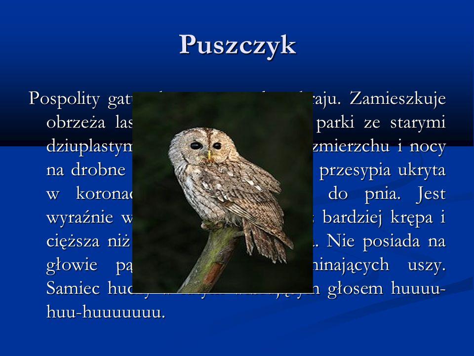 Puszczyk Pospolity gatunek sowy w całym kraju. Zamieszkuje obrzeża lasów, a nawet miejskie parki ze starymi dziuplastymi drzewami. Poluje o zmierzchu