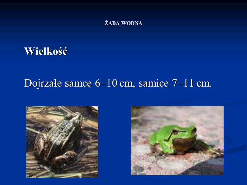 ŻABA WODNA Wielkość Dojrzałe samce 6–10 cm, samice 7–11 cm.