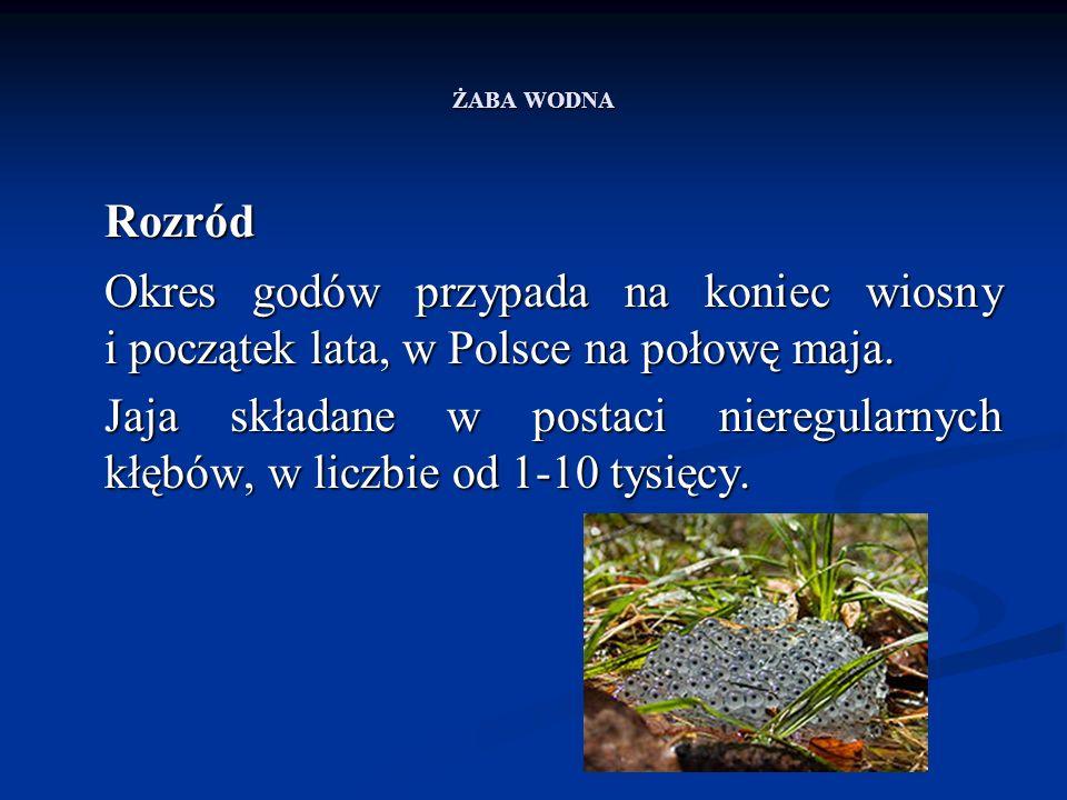 ŻABA WODNA Rozród Okres godów przypada na koniec wiosny i początek lata, w Polsce na połowę maja. Jaja składane w postaci nieregularnych kłębów, w lic