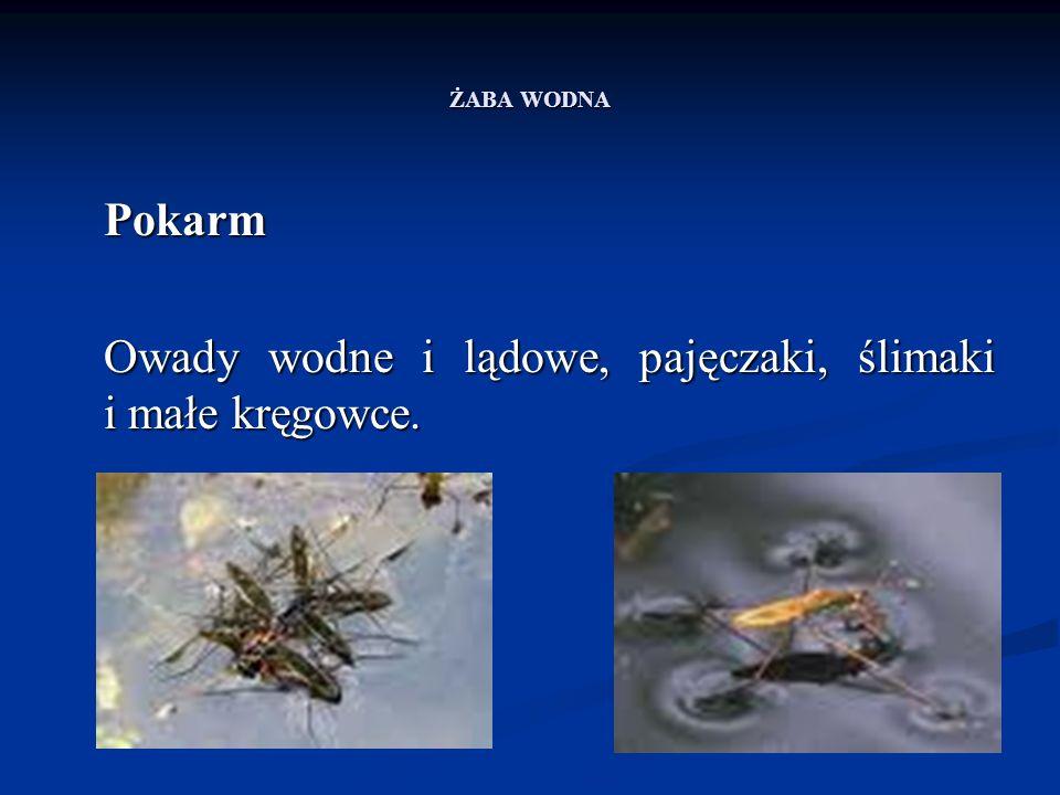 ŻABA WODNA Pokarm Owady wodne i lądowe, pajęczaki, ślimaki i małe kręgowce.