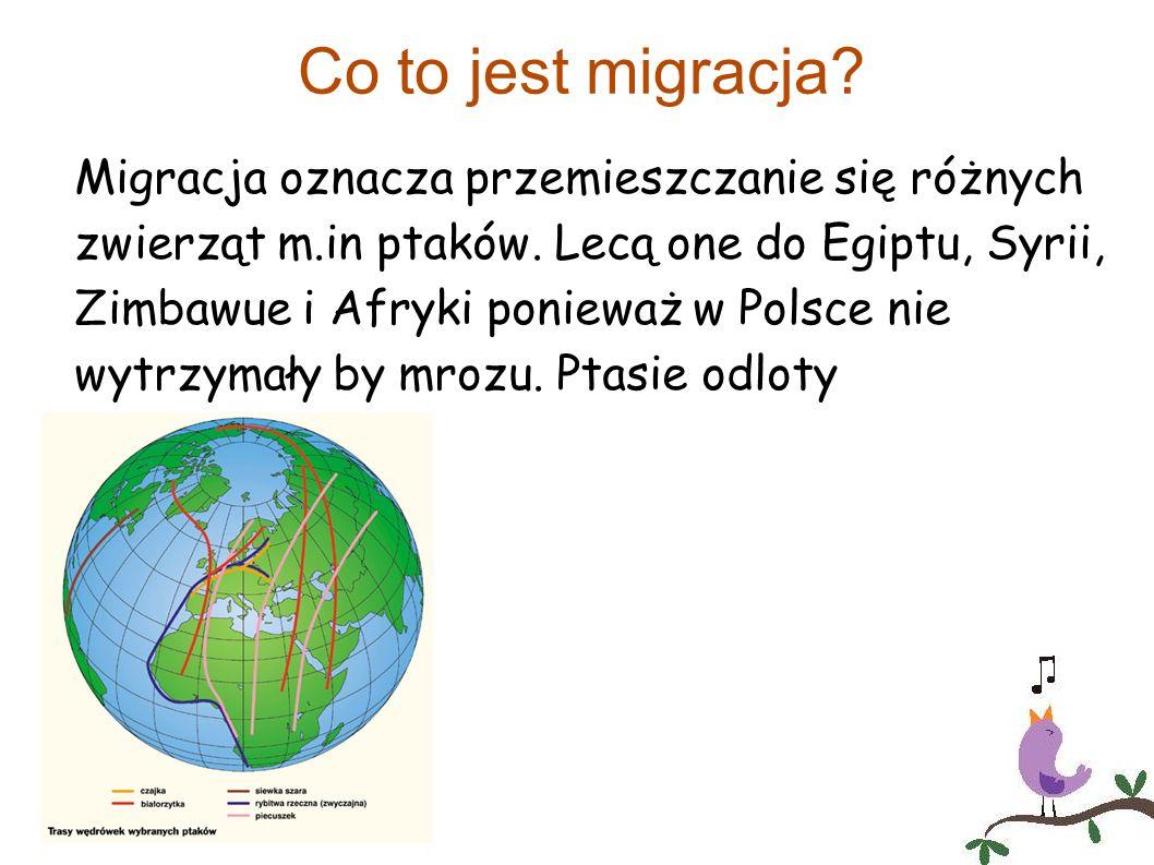 Co to jest migracja? Migracja oznacza przemieszczanie się różnych zwierząt m.in ptaków. Lecą one do Egiptu, Syrii, Zimbawue i Afryki ponieważ w Polsce