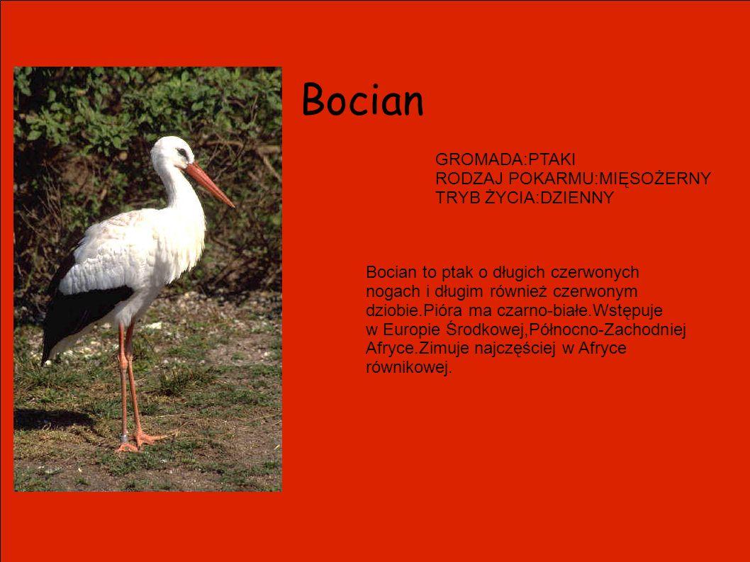 Bocian GROMADA:PTAKI RODZAJ POKARMU:MIĘSOŻERNY TRYB ŻYCIA:DZIENNY Bocian to ptak o długich czerwonych nogach i długim również czerwonym dziobie.Pióra
