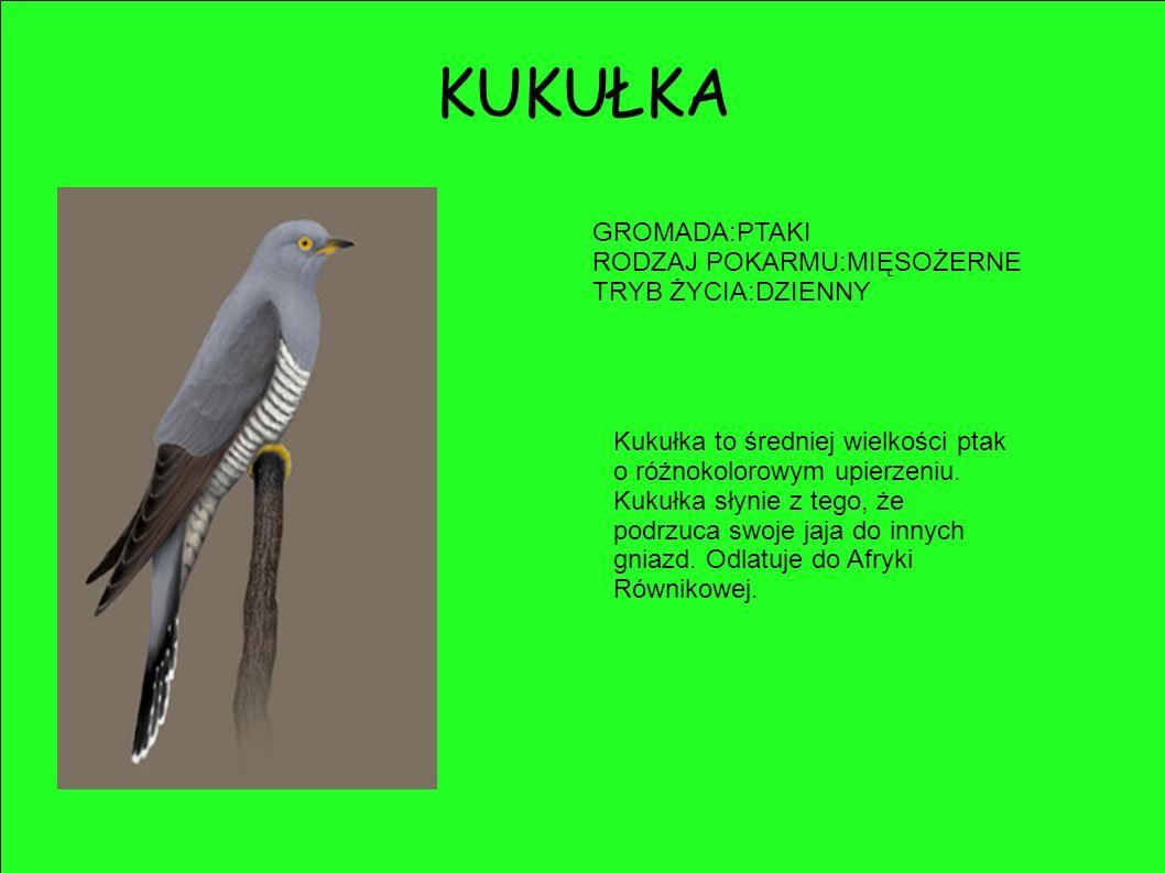 GROMADA:PTAKI RODZAJ POKARMU:MIĘSOŻERNE TRYB ŻYCIA:DZIENNY Kukułka to średniej wielkości ptak o różnokolorowym upierzeniu. Kukułka słynie z tego, że p