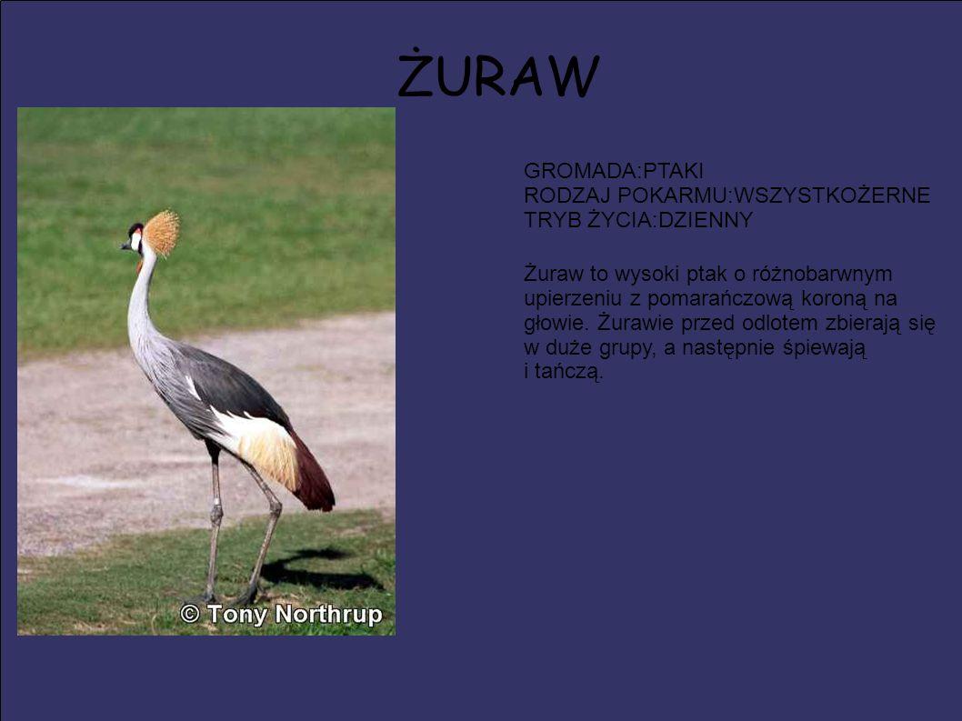 ŻURAW GROMADA:PTAKI RODZAJ POKARMU:WSZYSTKOŻERNE TRYB ŻYCIA:DZIENNY Żuraw to wysoki ptak o różnobarwnym upierzeniu z pomarańczową koroną na głowie. Żu