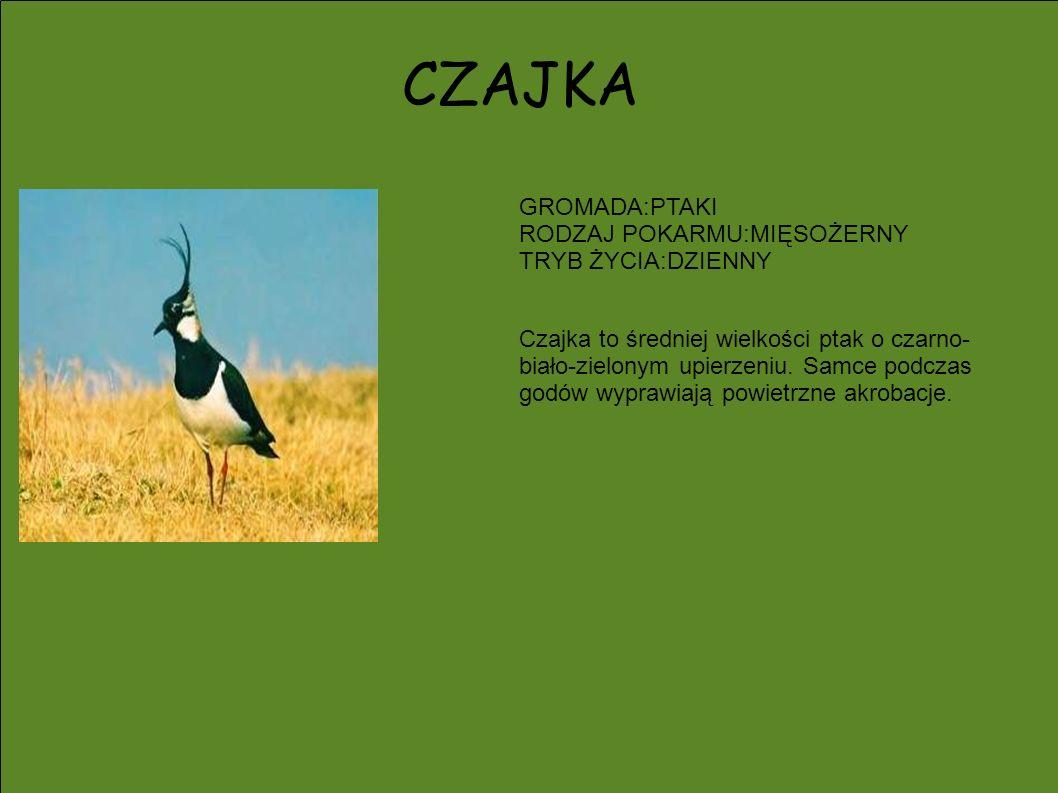 CZAJKA GROMADA:PTAKI RODZAJ POKARMU:MIĘSOŻERNY TRYB ŻYCIA:DZIENNY Czajka to średniej wielkości ptak o czarno- biało-zielonym upierzeniu. Samce podczas