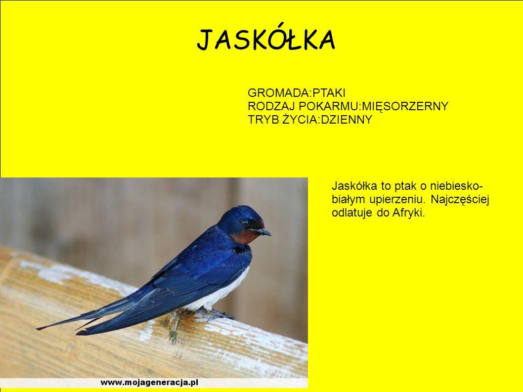 JASKÓŁKA GROMADA:PTAKI RODZAJ POKARMU:MIĘSORZERNY TRYB ŻYCIA:DZIENNY Jaskółka to ptak o niebiesko- białym upierzeniu. Najczęściej odlatuje do Afryki.