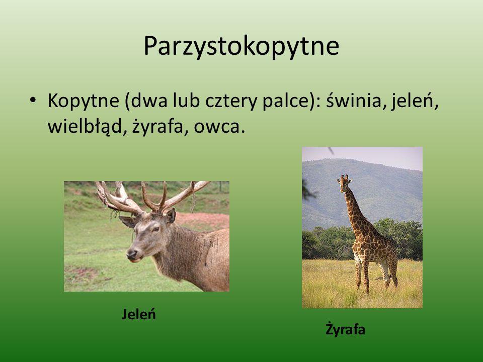 Parzystokopytne Kopytne (dwa lub cztery palce): świnia, jeleń, wielbłąd, żyrafa, owca. Jeleń Żyrafa