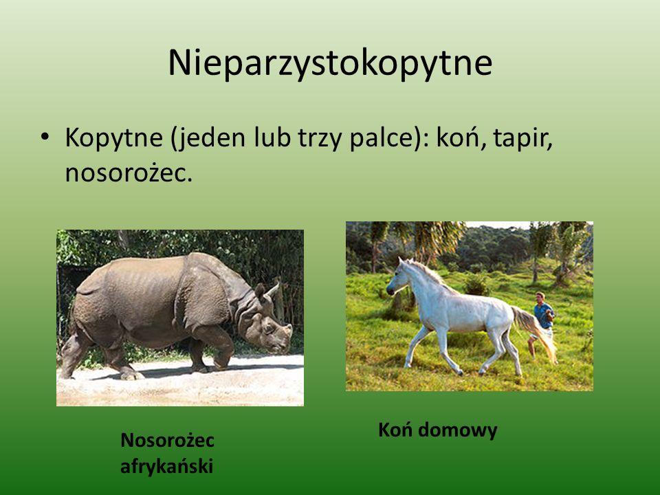 Nieparzystokopytne Kopytne (jeden lub trzy palce): koń, tapir, nosorożec. Nosorożec afrykański Koń domowy