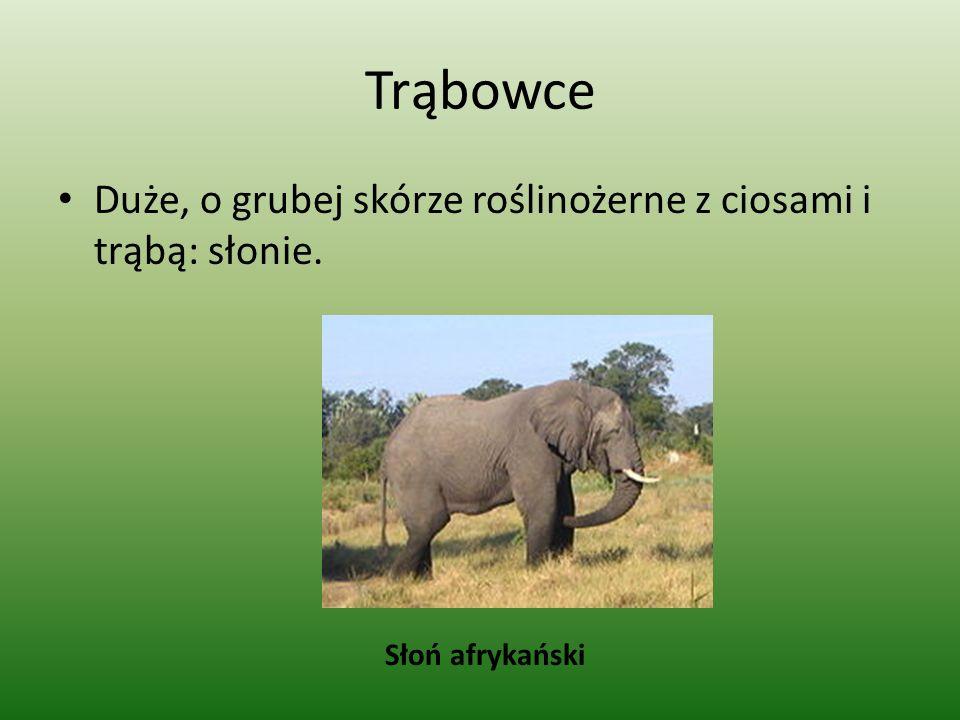 Trąbowce Duże, o grubej skórze roślinożerne z ciosami i trąbą: słonie. Słoń afrykański