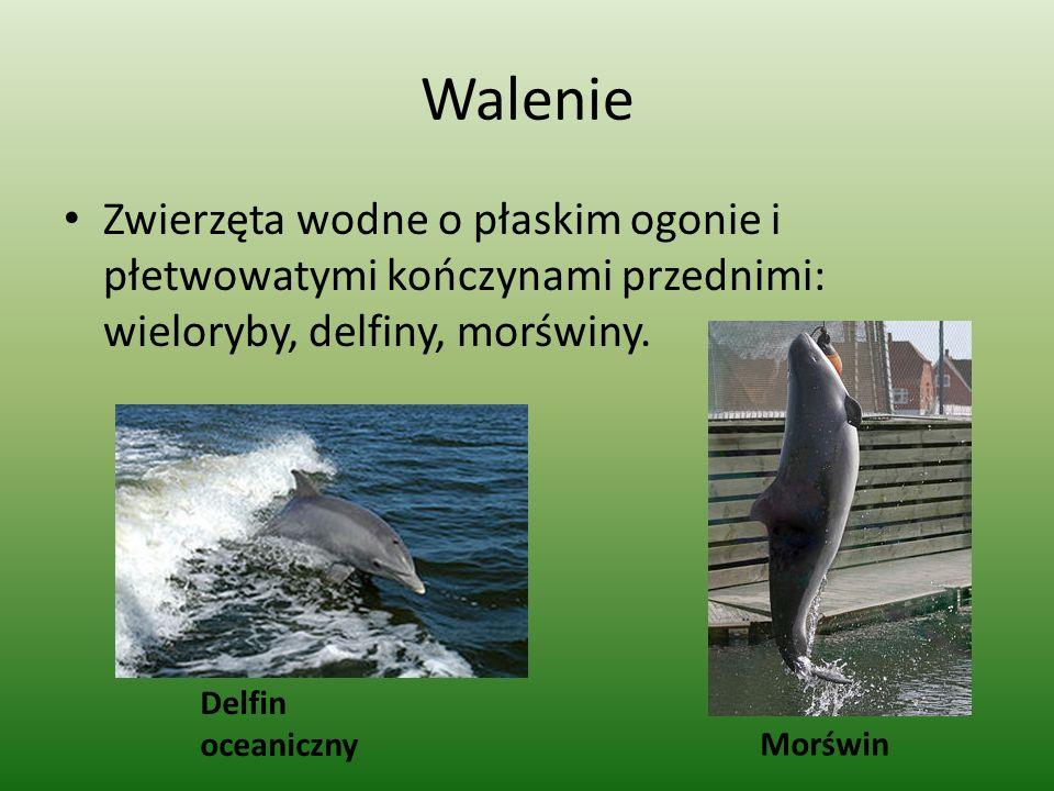 Walenie Zwierzęta wodne o płaskim ogonie i płetwowatymi kończynami przednimi: wieloryby, delfiny, morświny. Delfin oceaniczny Morświn