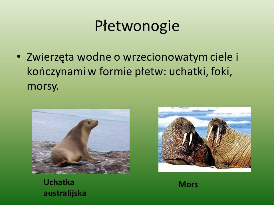 Płetwonogie Zwierzęta wodne o wrzecionowatym ciele i kończynami w formie płetw: uchatki, foki, morsy.