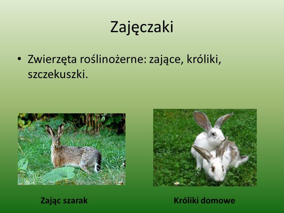 Zajęczaki Zwierzęta roślinożerne: zające, króliki, szczekuszki. Zając szarakKróliki domowe