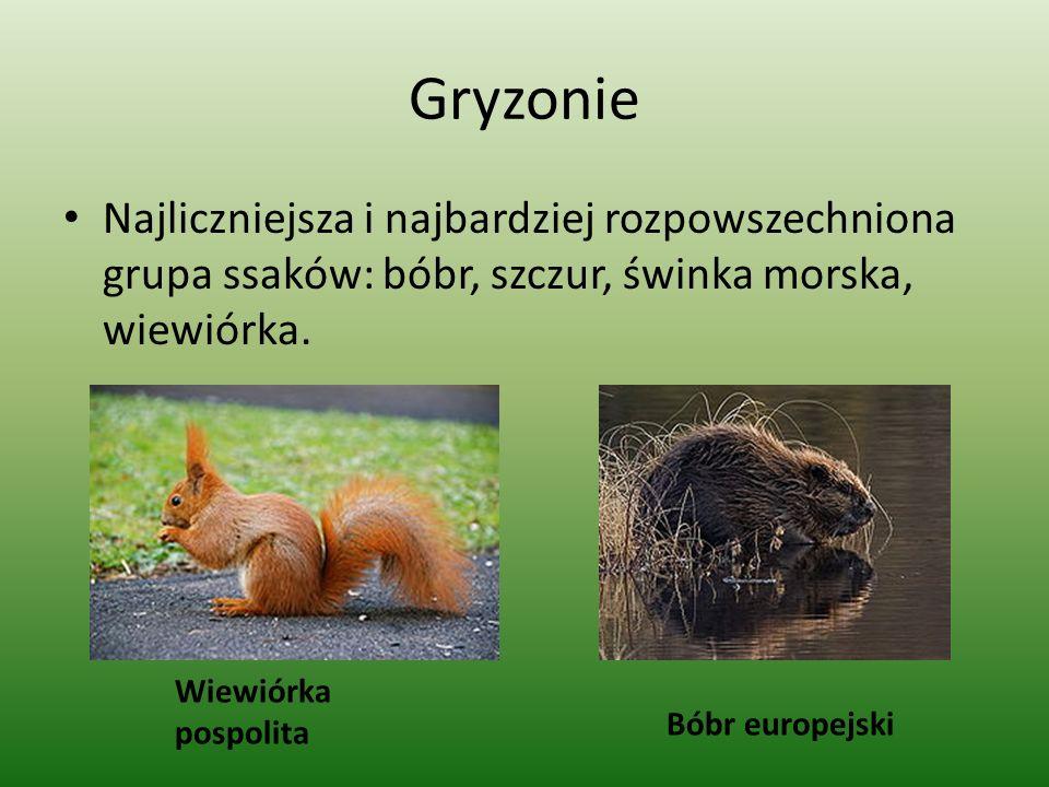 Gryzonie Najliczniejsza i najbardziej rozpowszechniona grupa ssaków: bóbr, szczur, świnka morska, wiewiórka. Wiewiórka pospolita Bóbr europejski