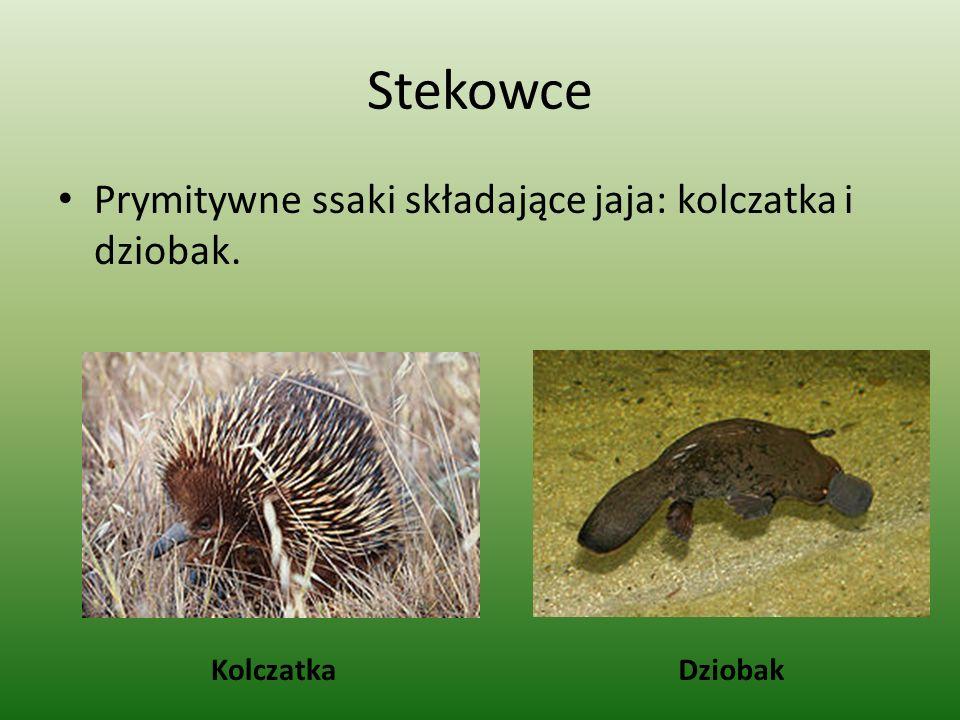 Stekowce Prymitywne ssaki składające jaja: kolczatka i dziobak. KolczatkaDziobak