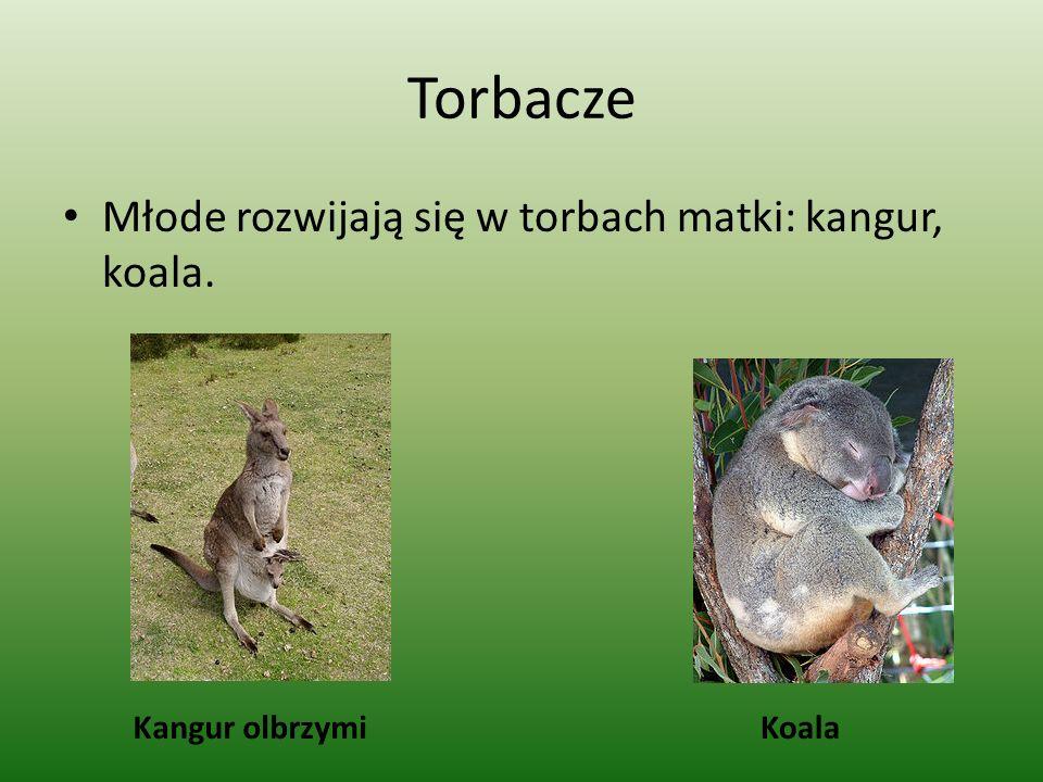 Torbacze Młode rozwijają się w torbach matki: kangur, koala. Kangur olbrzymiKoala