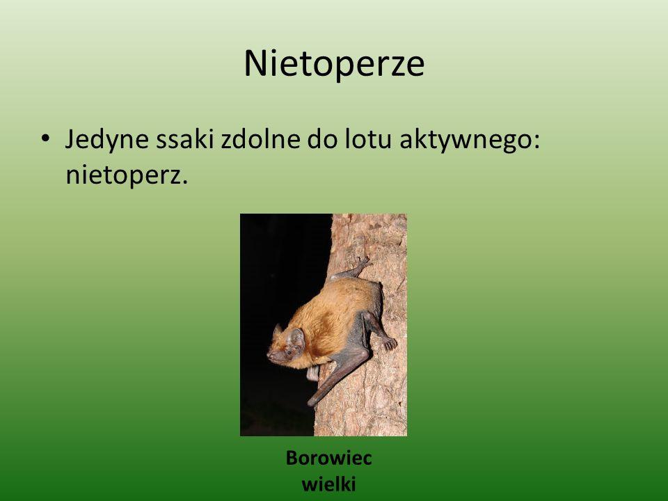 Nietoperze Jedyne ssaki zdolne do lotu aktywnego: nietoperz. Borowiec wielki