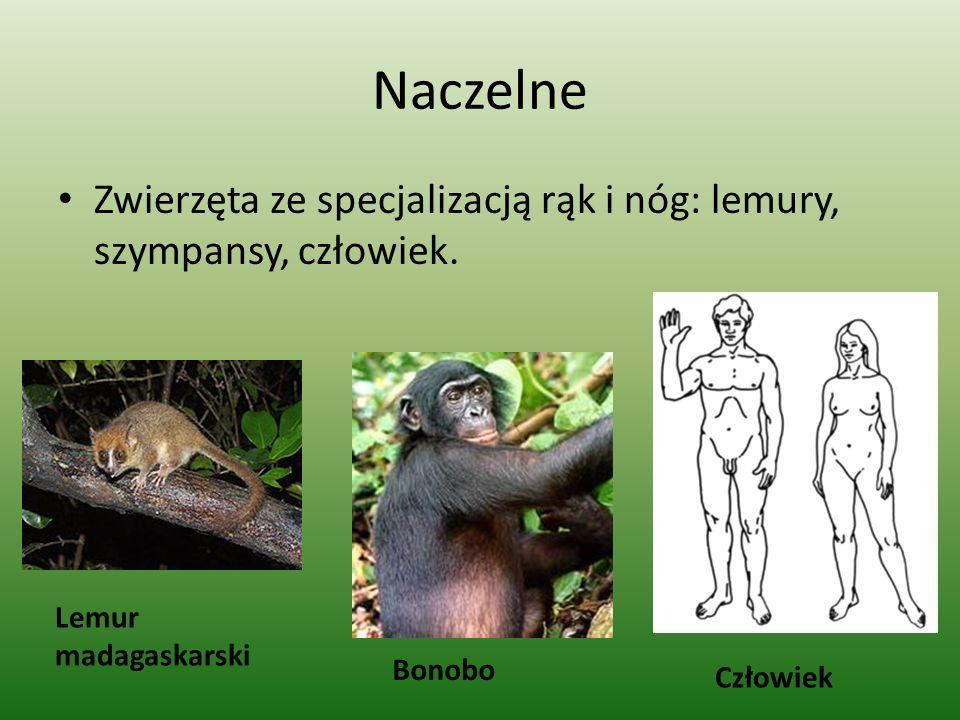 Naczelne Zwierzęta ze specjalizacją rąk i nóg: lemury, szympansy, człowiek.