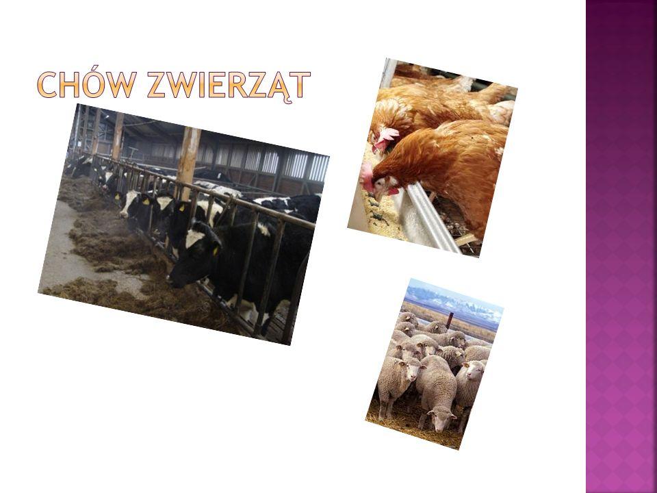 Cel chowu: mięso (bardzo szybki przyrost wagi) tłuszcz Rozmieszczenie chowu: Rejony uprawy kukurydzy, jęczmienia, ziemniaków.