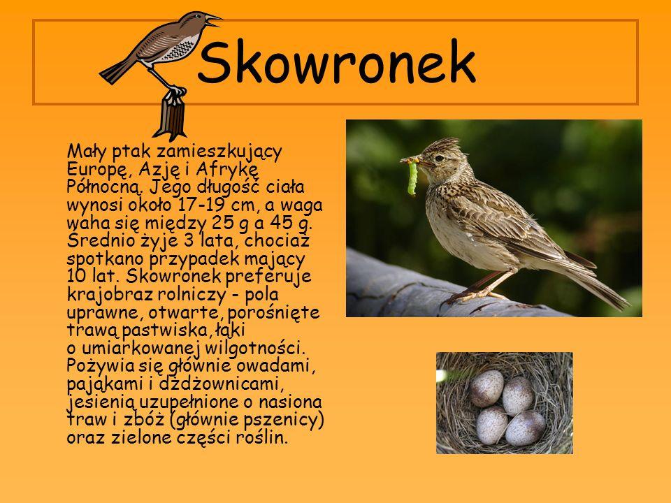 Skowronek Mały ptak zamieszkujący Europę, Azję i Afrykę Północną. Jego długość ciała wynosi około 17-19 cm, a waga waha się między 25 g a 45 g. Średni