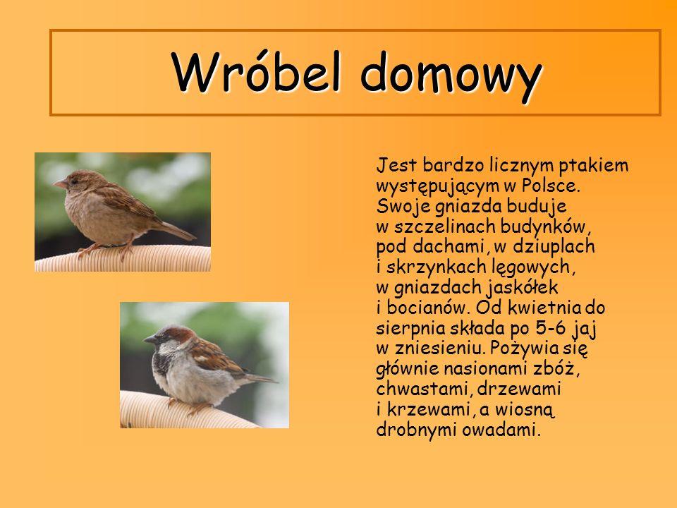 Wróbel domowy Jest bardzo licznym ptakiem występującym w Polsce. Swoje gniazda buduje w szczelinach budynków, pod dachami, w dziuplach i skrzynkach lę