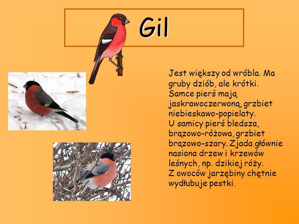 Gil Jest większy od wróbla. Ma gruby dziób, ale krótki. Samce pierś mają jaskrawoczerwoną, grzbiet niebieskawo-popielaty. U samicy pierś bledsza, brąz