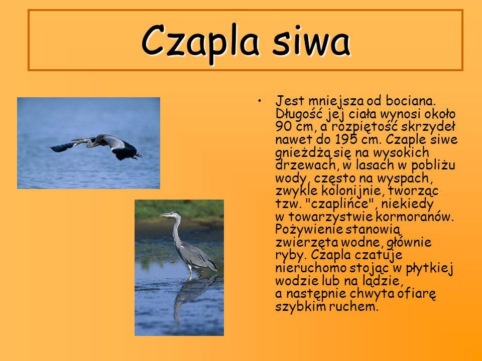 Czapla siwa Jest mniejsza od bociana. Długość jej ciała wynosi około 90 cm, a rozpiętość skrzydeł nawet do 195 cm. Czaple siwe gnieżdżą się na wysokic