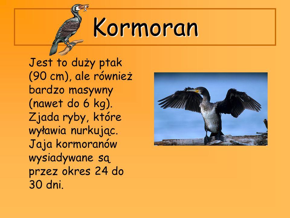 Kormoran Jest to duży ptak (90 cm), ale również bardzo masywny (nawet do 6 kg). Zjada ryby, które wyławia nurkując. Jaja kormoranów wysiadywane są prz