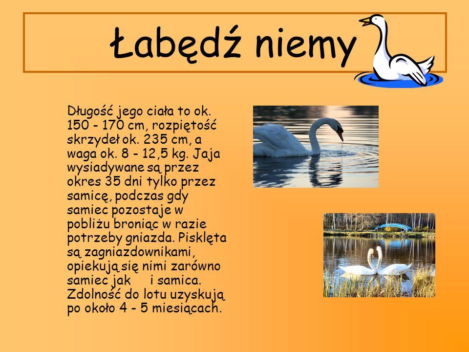 Łabędź niemy Długość jego ciała to ok. 150 - 170 cm, rozpiętość skrzydeł ok. 235 cm, a waga ok. 8 - 12,5 kg. Jaja wysiadywane są przez okres 35 dni ty