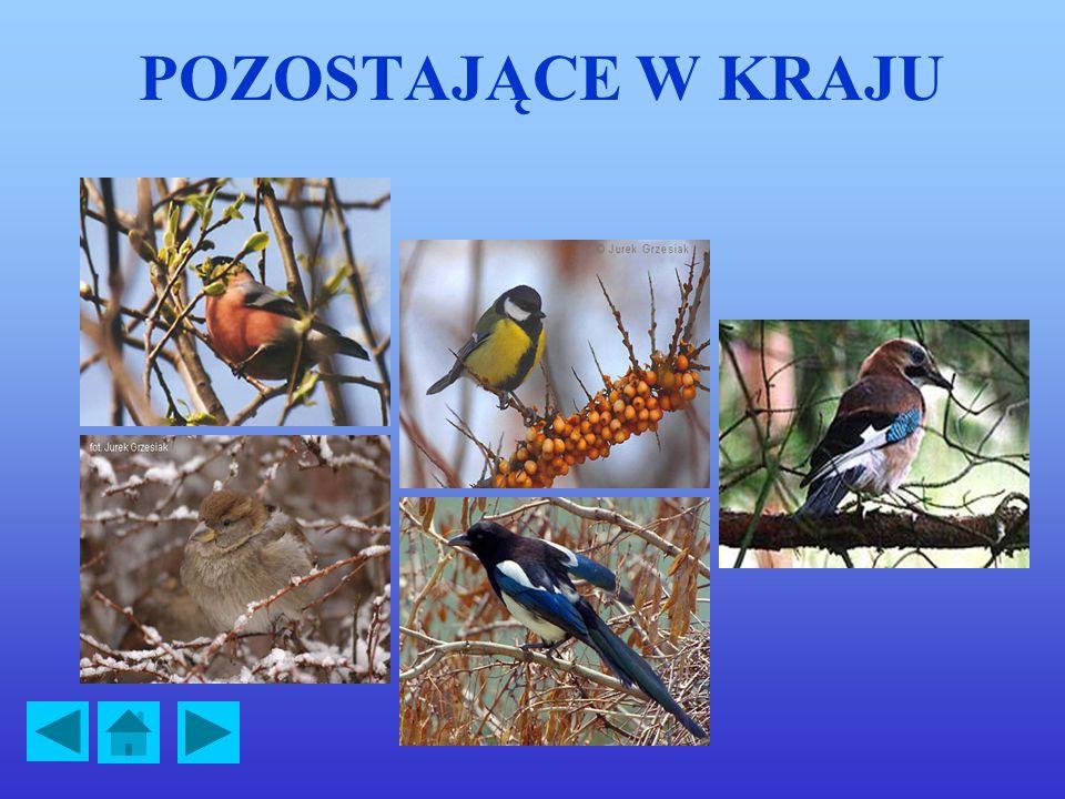 ŻURAW Żuraw jest dużym (105-130 cm) i efektownym ptakiem. Żuraw gniazduje na terenach podmokłych, często w lasach. Żeruje na wilgotnych łąkach, także