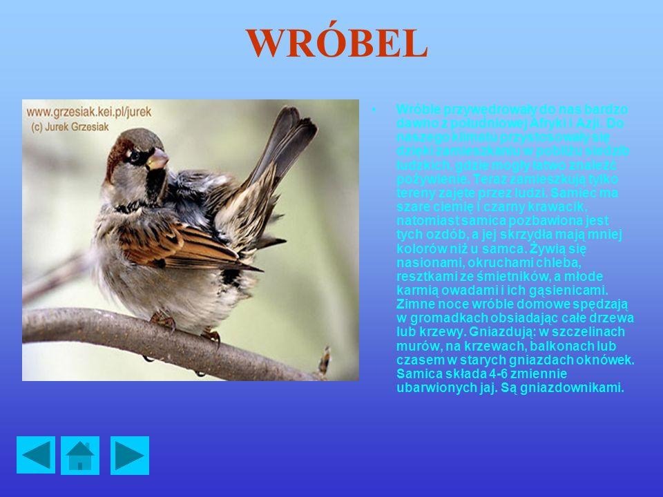 SIKORA BOGATKA Sikora bogatka jest najbardziej przyzwyczajoną do człowieka sikorą. Jest bardzo ruchliwa. Zamieszkuje lasy, parki, ogrody, a nawet osie