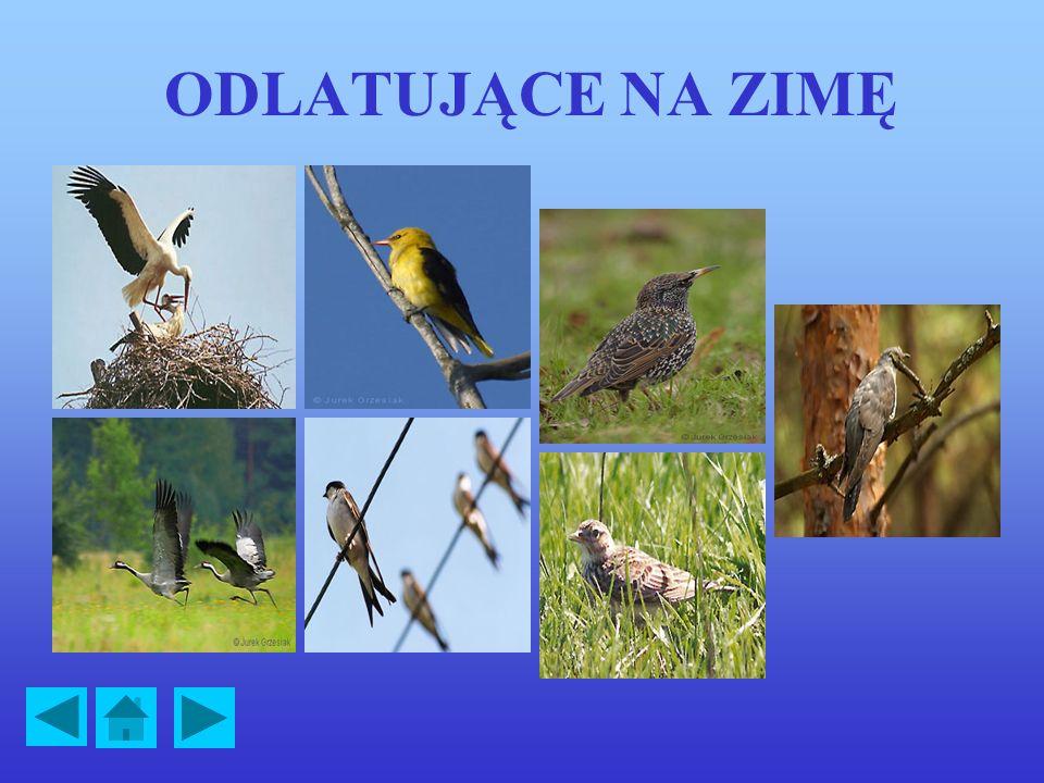 PTAKI POLSKIE Odlatujące na zimę >>>> Bocian biały >>>> Jaskółka >>>> Kukułka >>>> Szpak >>>> Wilga >>>> Skowronek >>>> Żuraw >>>> Pozostające w kraju