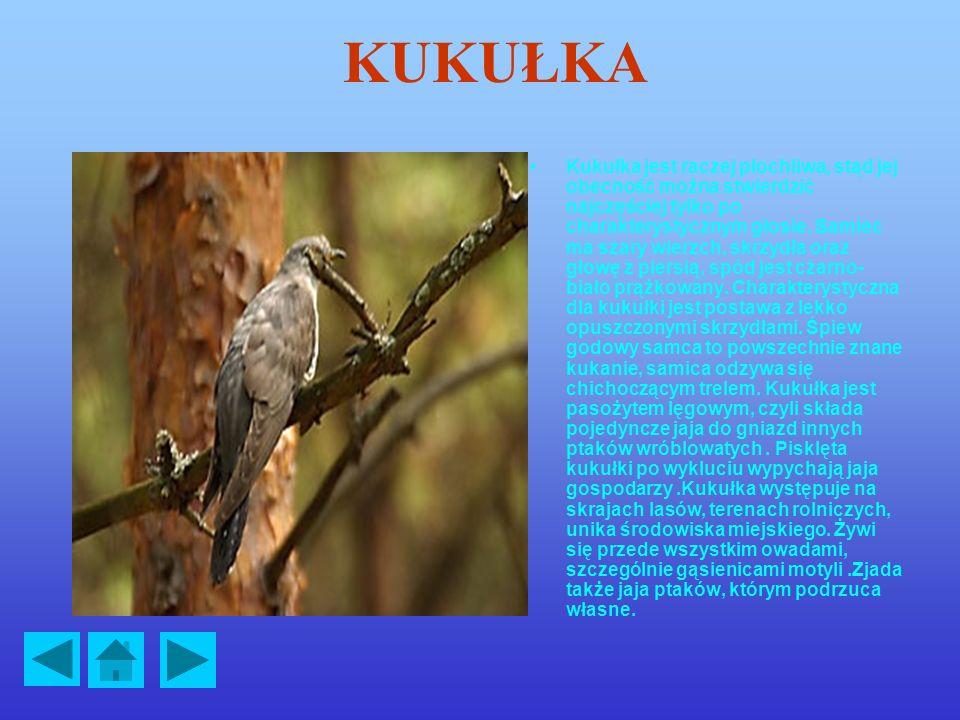 KUKUŁKA Kukułka jest raczej płochliwa, stąd jej obecność można stwierdzić najczęściej tylko po charakterystycznym głosie.