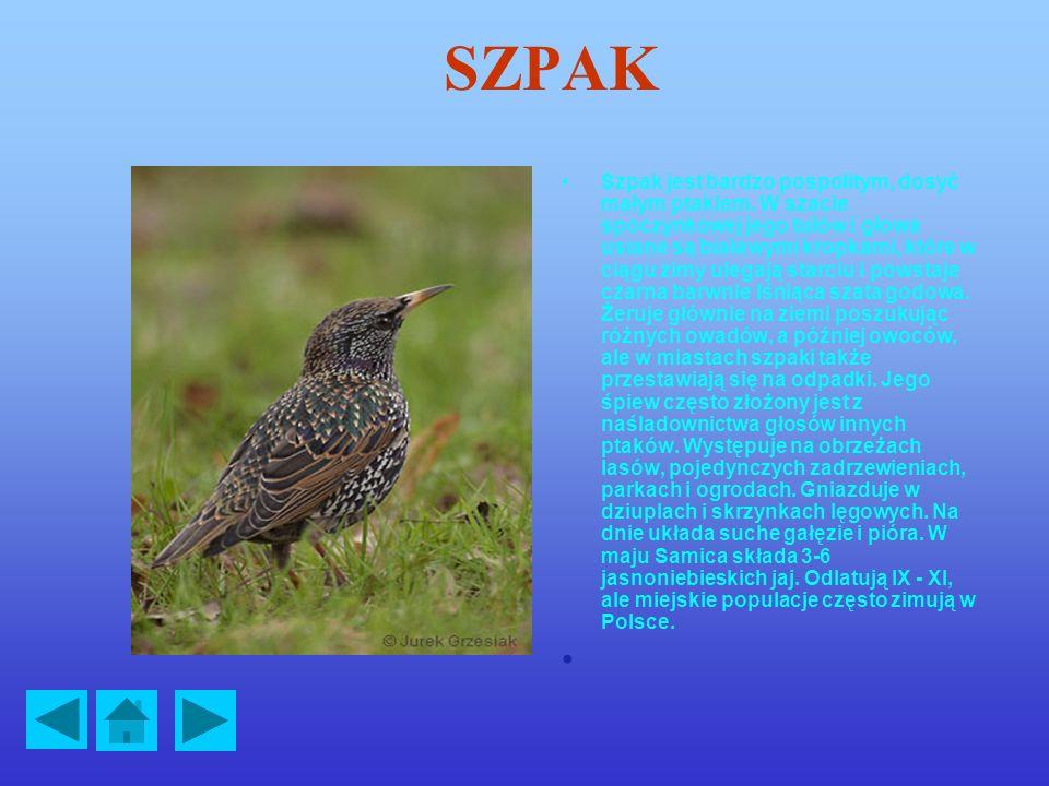 SZPAK Szpak jest bardzo pospolitym, dosyć małym ptakiem.