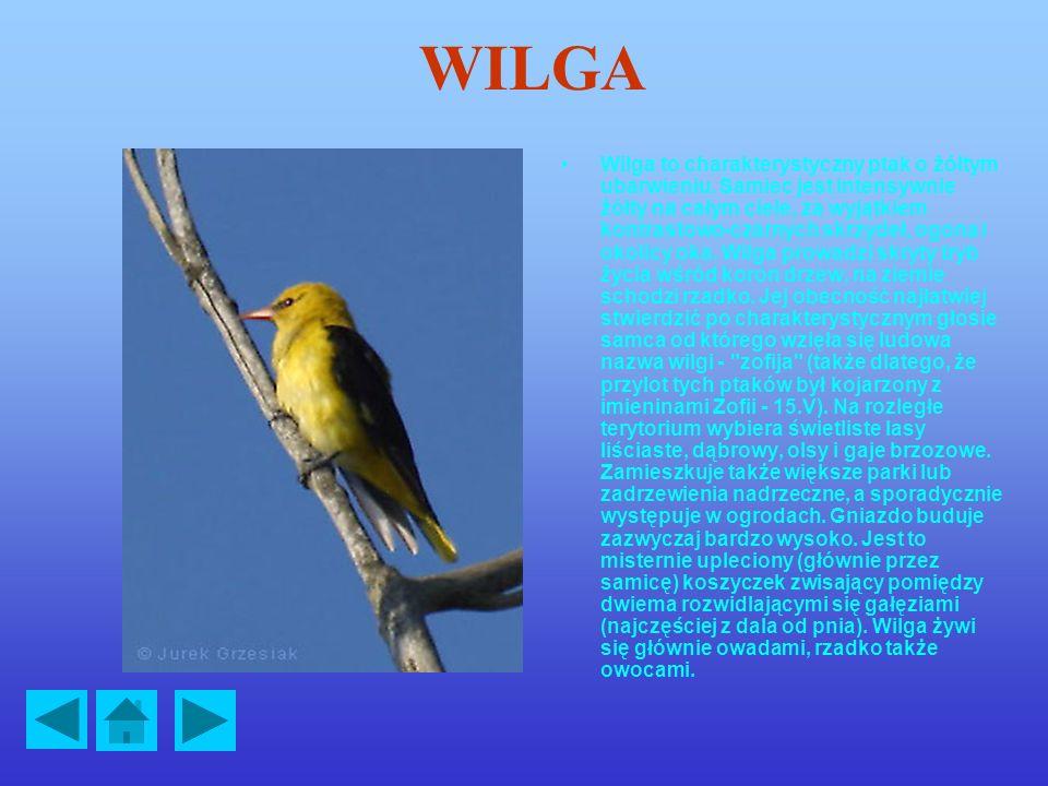 WILGA Wilga to charakterystyczny ptak o żółtym ubarwieniu.