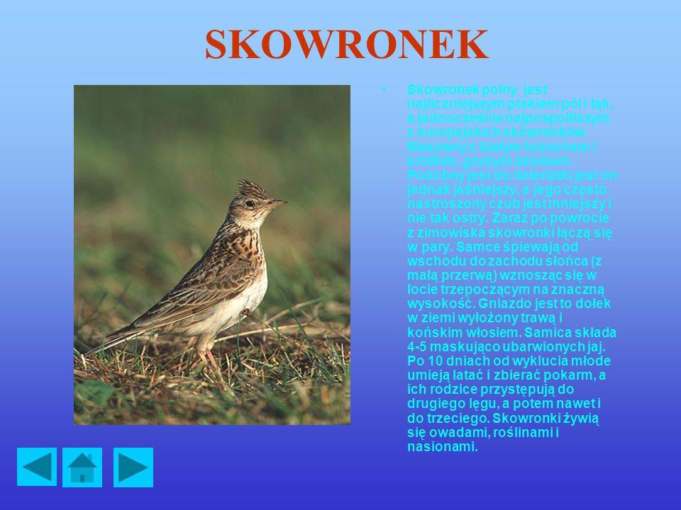 SKOWRONEK Skowronek polny jest najliczniejszym ptakiem pól i łąk, a jednocześnie najpospolitszym z europejskich skowronków.