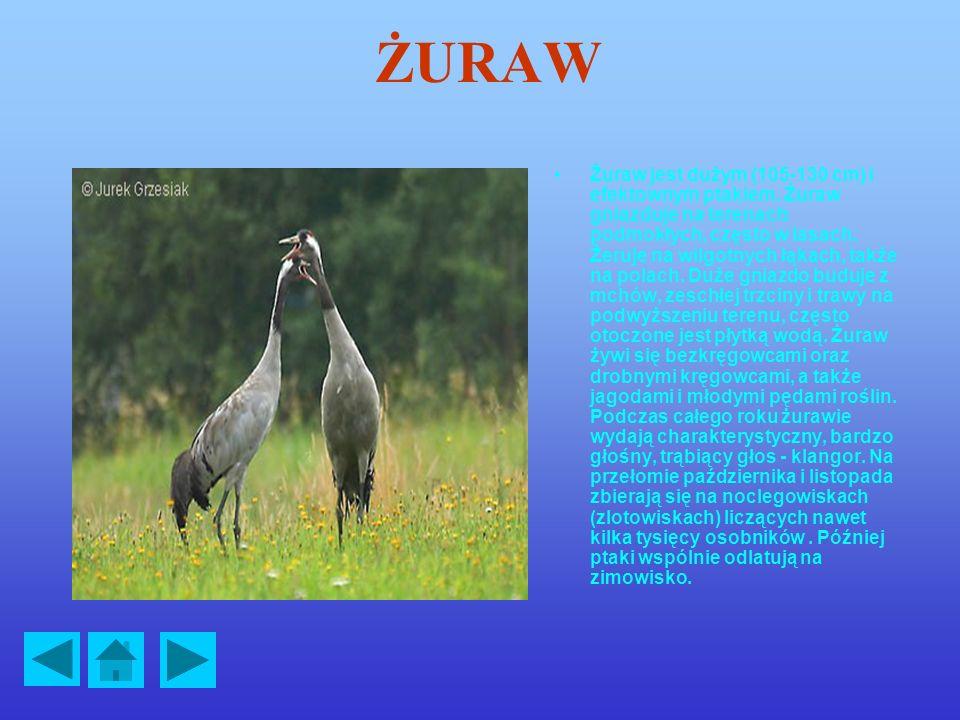 ŻURAW Żuraw jest dużym (105-130 cm) i efektownym ptakiem.