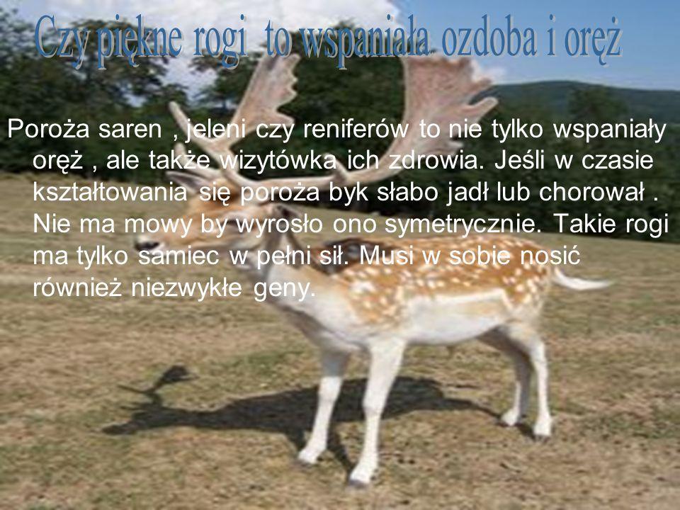 Poroża saren, jeleni czy reniferów to nie tylko wspaniały oręż, ale także wizytówka ich zdrowia. Jeśli w czasie kształtowania się poroża byk słabo jad