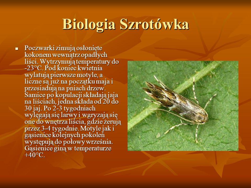 Biologia Szrotówka Poczwarki zimują osłonięte kokonem wewnątrz opadłych liści. Wytrzymują temperatury do -23°C. Pod koniec kwietnia wylatują pierwsze