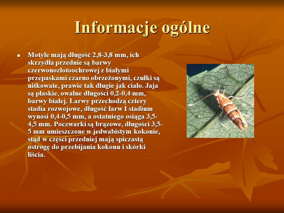 Informacje ogólne Motyle mają długość 2,8-3,8 mm, ich skrzydła przednie są barwy czerwonozłotoochrowej z białymi przepaskami czarno obrzeżonymi, czułk
