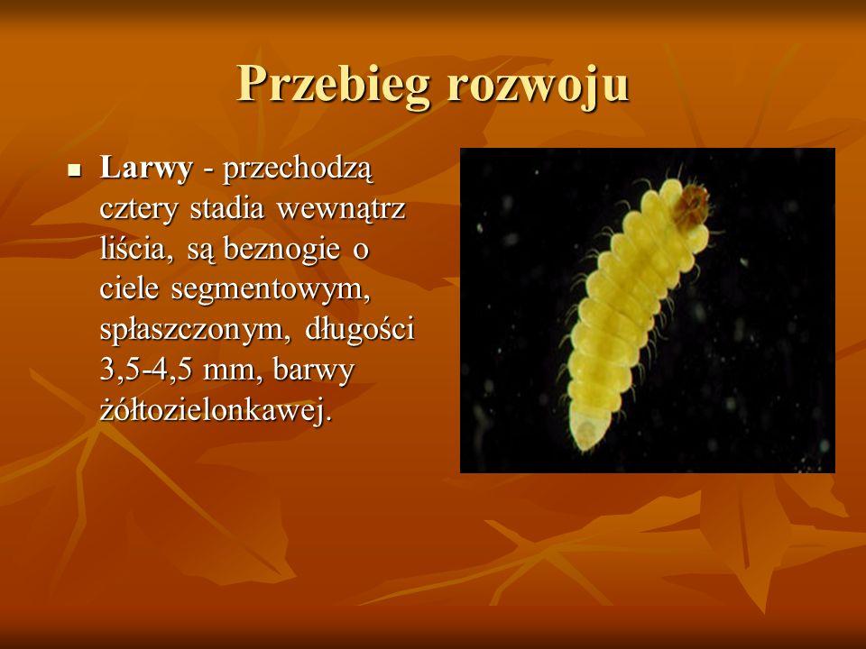 Przebieg rozwoju Larwy - przechodzą cztery stadia wewnątrz liścia, są beznogie o ciele segmentowym, spłaszczonym, długości 3,5-4,5 mm, barwy żółtoziel