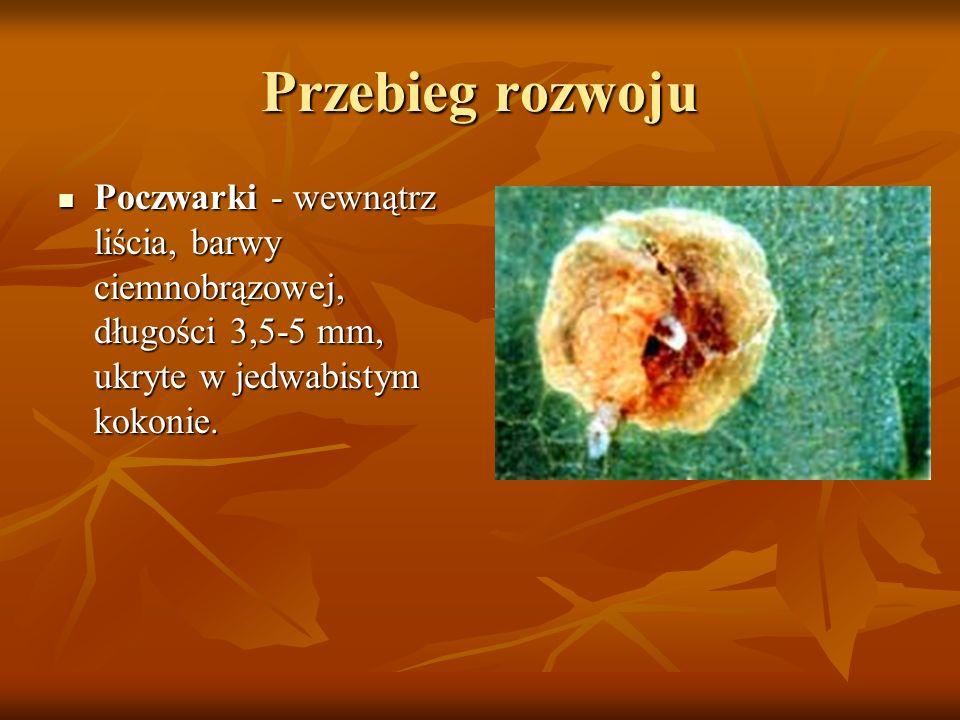 Przebieg rozwoju Poczwarki - wewnątrz liścia, barwy ciemnobrązowej, długości 3,5-5 mm, ukryte w jedwabistym kokonie. Poczwarki - wewnątrz liścia, barw