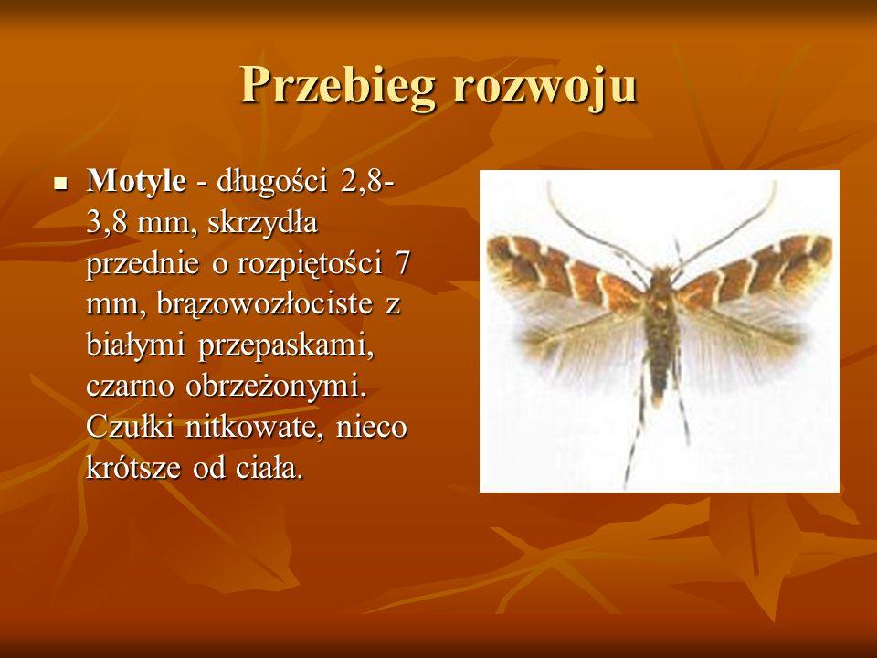 Przebieg rozwoju Motyle - długości 2,8- 3,8 mm, skrzydła przednie o rozpiętości 7 mm, brązowozłociste z białymi przepaskami, czarno obrzeżonymi. Czułk