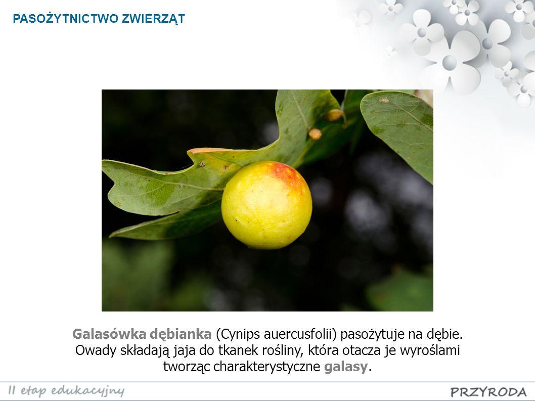 PASOŻYTNICTWO ZWIERZĄT Galasówka dębianka (Cynips auercusfolii) pasożytuje na dębie. Owady składają jaja do tkanek rośliny, która otacza je wyroślami