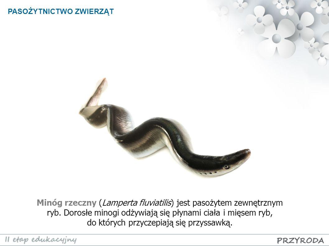 PASOŻYTNICTWO ZWIERZĄT Minóg rzeczny (Lamperta fluviatilis) jest pasożytem zewnętrznym ryb. Dorosłe minogi odżywiają się płynami ciała i mięsem ryb, d