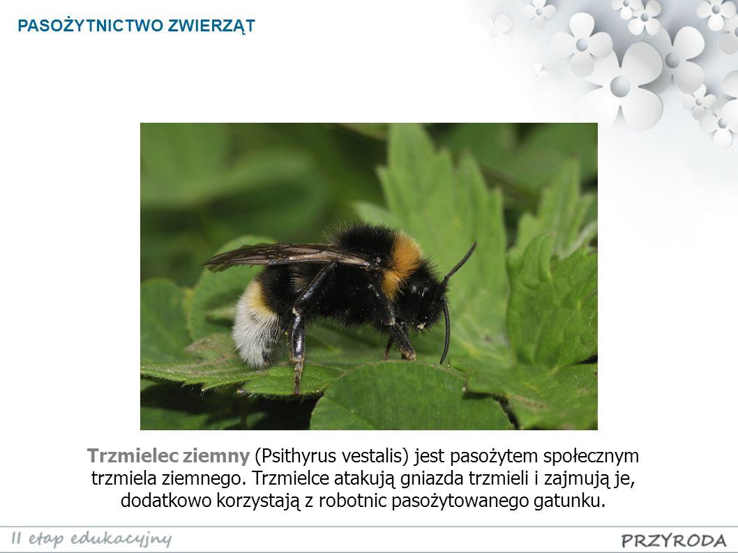 PASOŻYTNICTWO ZWIERZĄT Trzmielec ziemny (Psithyrus vestalis) jest pasożytem społecznym trzmiela ziemnego. Trzmielce atakują gniazda trzmieli i zajmują